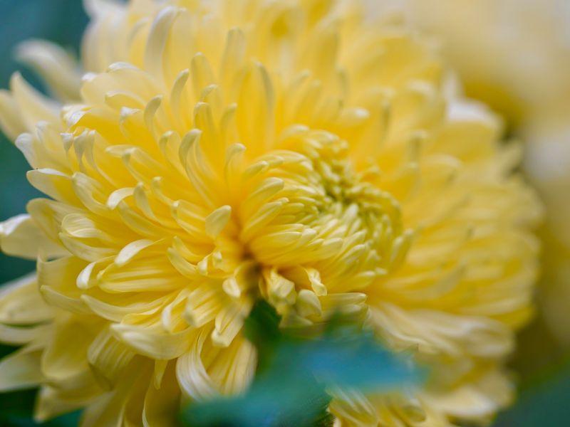 Na zdjęciu chryzantema w kolorze żółtym