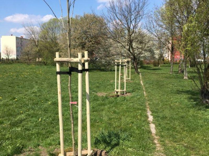 Na zdjęciu nasadzenia nowych drzew na tyłach MCK -