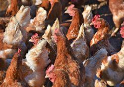 Ptasia grypa ‒ strefy zapowietrzenia i zagrożenia w powiecie tomaszowskim